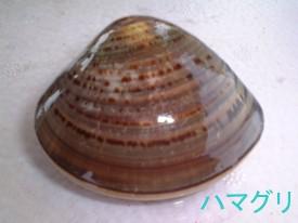 御殿場浜で採れる貝の種類